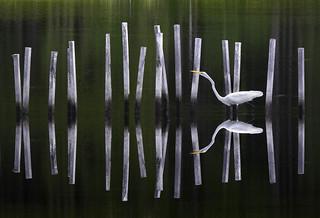 Egret - Blackwater NWR