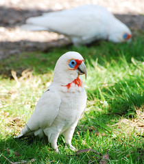 Long Billed Corella (davo5052) Tags: white bird southaustralia belairnationalpark longbilledcorella belairnp vosplusbellesphotos
