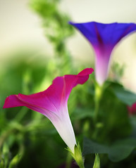 Foreground and Background - with Morning Glory (sinha_arvind) Tags: flower glow colours together unature