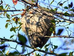 Hornet Nest 20090915 (Kenneth Cole Schneider) Tags: illinois batavia kanecounty hornetnest nelsonlake httpblogrosyfinchcom