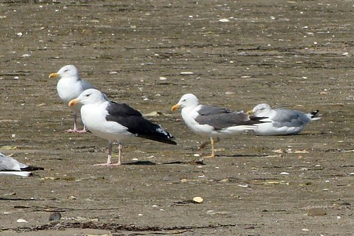 lesser black backed gull and local gulls 2