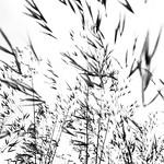 Eastrop Park Grasses