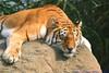 I am a Rock....... (law_keven) Tags: sleeping england cats rock feline isleofwight tigers bigcats bengaltiger pantheratigris explore500 indiantiger mywinners isleofwightzoo pantheratigrisbengalensis