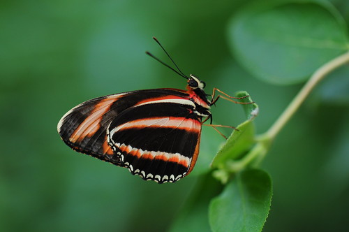 フリー画像|節足動物|昆虫|蝶/チョウ|オビモンドクチョウ|フリー素材|