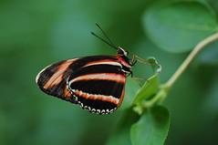 [フリー画像] [節足動物] [昆虫] [蝶/チョウ] [オビモンドクチョウ]       [フリー素材]