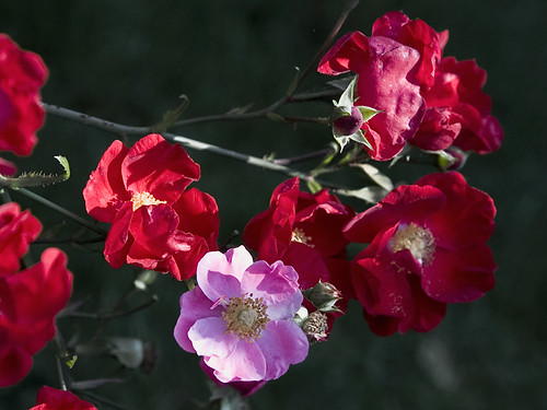 red roses and one pink rose