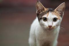 Pussy cat (WetCraft) Tags: pet animal cat canon feline bokeh pussy 100mm jerome meow pussycat pinoy chua housepet canon50d jeromechua
