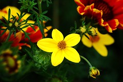 Summer flowers (bethmax) Tags: flowers yellow nikon simplyflowers photocontesttnc10 allrightsreservedpleasecontactmetoobtainpermissiontousemywork