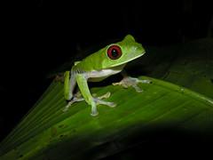 Red-eyed Tree-frog, Esquinas Rainforest Lodge, Costa Rica (Frank.Vassen) Tags: costarica amphibian treefrog agalychniscallidryas redeyedtreefrog rainette laubfrosch agalychnis rotaugenlaubfrosch esquinasrainforest esquinasrainforestlodge grenouilleauxyeuxrouges regenwaldderösterreicher rainetteauxyeuxrouges