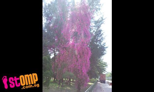 Tallest bougainvillea plant in S'pore