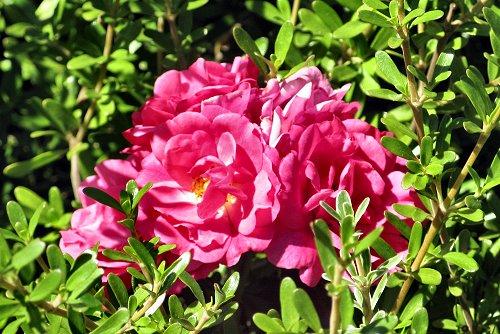 Rosa 'Heidetraum' (rq) - 02