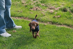 Puppy in Motion (Palmer Digital Studio) Tags: dog pet baby brown home halloween puppy toy mix day dancing chocolate tag first vizsla canine queen weimaraner german chew bandana pooch abba hungarian