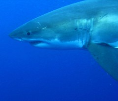 Great White Sharks (C) 2009