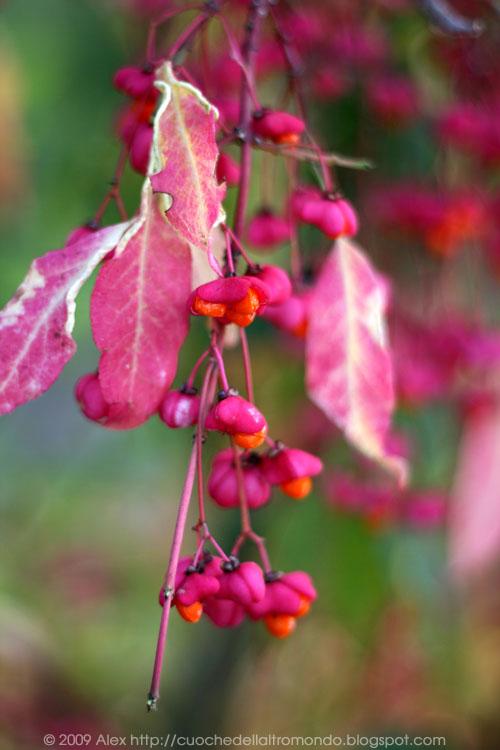 Bacche rosa