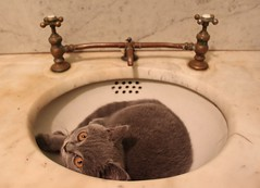 """honey, call roto rooter"" (underwhelmer) Tags: cat kitten oskar britishshorthair scr"