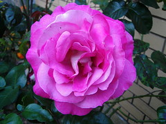 Pink Rose - Backyard