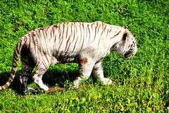 Namaste the White Tiger #2 (EmperorNorton47) Tags: hawaii photo hilo mammals bengaltiger pantheratigris whitebengaltiger panaewarainforestzoo