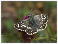 "Steppenheiden-Wrfel-Dickkopffalter (Pyrgus carthami, syn.: Pyrgus fritillarius) (Georg W. ""Ventoux"") Tags: hesperiidae pyrginae dickkopffalter naturparkleiserberge"