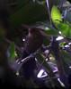 Mackenziana leachii1 (barbetboy) Tags: fbwnewbird fbwadded mackenziaena largetailedantshrike mackenziaenaleachii