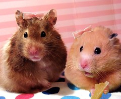 *Szarotka and Chmurka* (the lost photo...) (pyza*) Tags: pet cute animal rodent funny sweet critter hamster chimi hammie chmurka chomik szarotka latinvera26