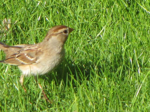 chipping sparrow-1