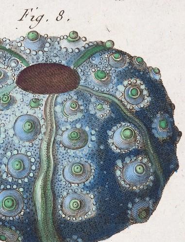 //Echinus (detail)// Jean Baptiste Lamarck. Tableau Encyclopédique et Méthodique des Trois Regnes de la Nature, Paris 1791-1798. Photograph by D Dunlop.