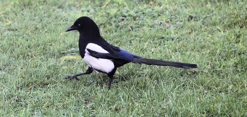 Ministry of Silly (Magpie) Walks