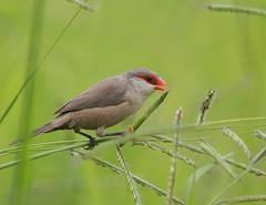 [フリー画像] [動物写真] [鳥類] [野鳥] [オナガカエデチョウ]       [フリー素材]