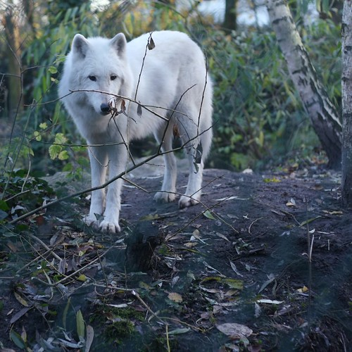 i want a pet wolf