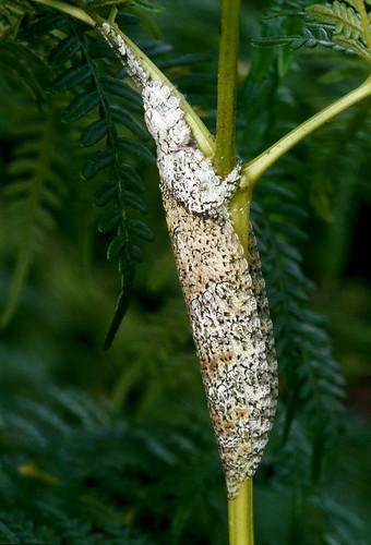 ? (Tettigoniidae: Pseudophyllinae)