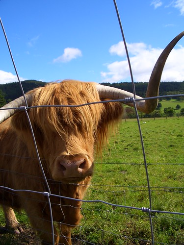 Hamish the Hairy Coo/Cow