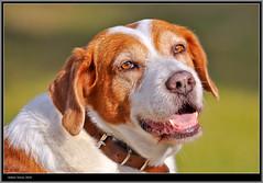 Melancolía (vfr800roja) Tags: pet nikon perro animales nikkor70200 d700 tff1 updatecollection antonitorres