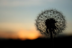 A Wish (dehephotography) Tags: sunset summer love silhouette devin blow dandelion seeds wish fragile gentle hendrick