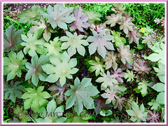 Numerous self-sown seedlings of Ricinus communis (Castor Bean, Castor Oil Plant), growing by the roadside