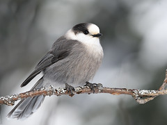 Mésangeai du Canada / Grey Jay (Sylvain Prince) Tags: perisoreuscanadensis