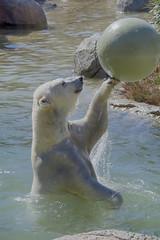 Anana practicing her basketball skills (ucumari photography) Tags: ucumariphotography anana polarbear ursusmaritimus oso bear animal mammal nc north carolina zoo osopolar ourspolaire oursblanc eisbär ísbjörn orsopolare полярныймедведь february 2017 dsc7632 specanimal 北極熊