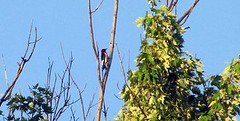 redheaded 2 (jeffcrafter) Tags: red woodpecker headed