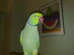 Parakeet Staring