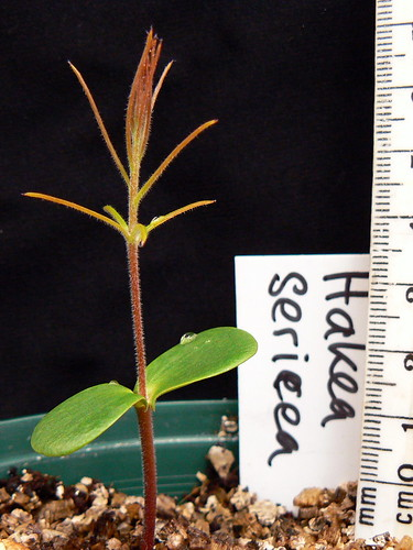 3683955392 911ee01e3f ... Hakea sericea display the sharp needle like structure of mature leaves, ...