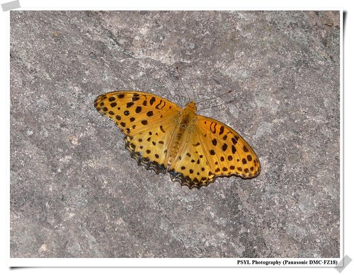Argyreus hyperbius - 黑端豹斑蝶