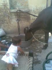 June 2009 (sarahamina) Tags: baby india girl kuh cow kid chica village child kind bebe nina indien mdchen ragazza bambina haryana sugling vacca bffel sarahamina