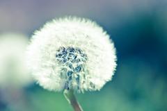 make a wish? (gkgirl) Tags: summer white green retro wishingflower
