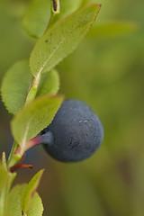 090803 (Tant Grön) Tags: makro sommar växter kväll kvll vxter