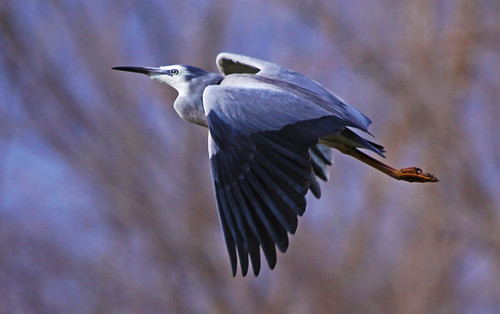 White-faced Heron : Dream Flight.