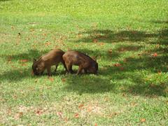 Feral piglets at Halawa Xeriscape Garden