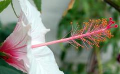 Another Hibiscus (roseyhadlow) Tags: kent hibiscus naturesfinest abigfave oxenhoath theunforgettablepictures goldstaraward cherryontopphotography damniwishidtakenthat oldwalledgarden