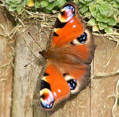 Peacock Butterfly (ukstormchaser (A.k.a The Bug Whisperer)) Tags: uk animal animals garden fly wildlife peacock flies milton keynes buttterflies buttterfly