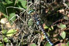 Dragonfly (Beverly Demientieff) Tags: alaska dragonfly northpole