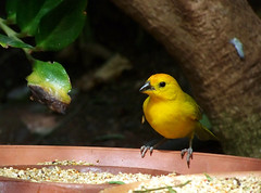 (Eva Sandbothe) Tags: bird yellow colorful fuerteventura oasis vogel oasispark