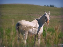 Graceful Beauty (Nature_Deb) Tags: county blue light summer sky horse white green nature fence cherry landscape wire afternoon bokeh valentine pasture grasses breeze stallion sandhills